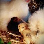 Modern Chicken Surrogate Motherhood